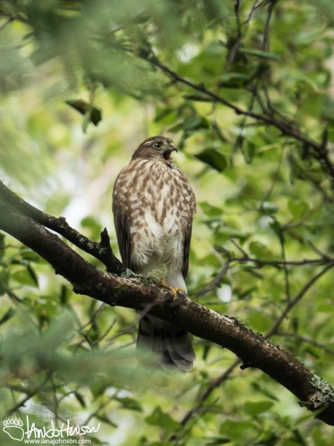 July 30th : Sharp-shinned Hawk
