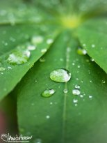August 5th : Raindrops on lupine leaves