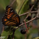 September 1st : Viceroy butterfly, Maplewood State Park