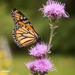 September 5th : Monarch Butterfly on Meadow Blazing Star
