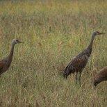 September 16th : Soggy Sandhill Cranes