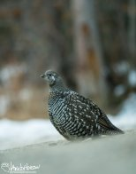 October 13th : Belly-crawling for a spruce grouse