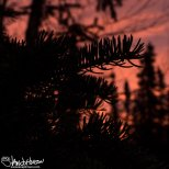 October 14th : Sunrise through the spruces