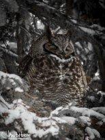 December 11th : Great-horned Owl
