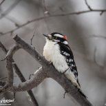 December 17th : Downy woodpecker staying warm in the snow