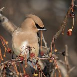 December 27th : Cedar Waxwing eyeing a meal
