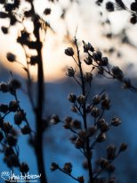 December 30th : Old flowers in the sunset