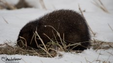 January 2nd : A muskrat makes an unexpected appearance along the road at Sax Zim Bog during a day of birding.