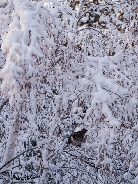 12:06 PM : The sharp-tailed grouse is actually a pretty small bird. Tucked up high in the spruces it is safe from almost any predator present in the Alaskan winter. Most raptors have migrated for the season, although a lingering great-horned owl could get bold and try for this big meal!