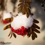 January 28th : Mountain Ash Berries, University of Alaska, Fairbanks