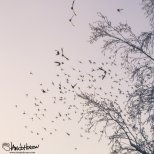 January 29th : Bohemian Waxwings take flight at University of Alaska Fairbanks