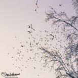 January 29th : Bohemian Waxwings take flight at University of Alaska Fairbanks