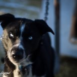 February 7th : Sled dog at Black Spruce Dog Sledding