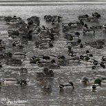 February 27th : Mallards on the Chena River
