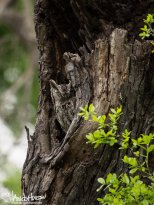 March 15th : Eastern Screech Owl