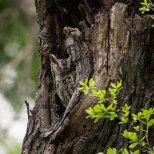 March 15th : Eastern Screech Owl