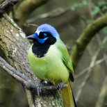 March 20th : Green Jay