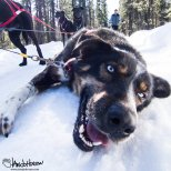 March 28th : George the happy sled dog!