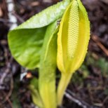 April 15th : Skunk Cabbage