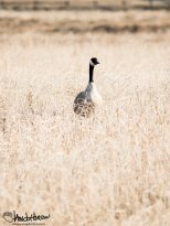 April 26th : New goose in the old growth