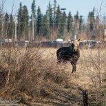 April 29th : Yearling moose