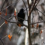 May 9th : Rusty Blackbird