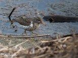 May 21st : Spotted Sandpiper at Wander Lake