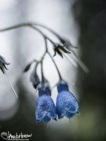 June 3rd : Bluebells