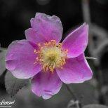 June 4th : Wild Rose
