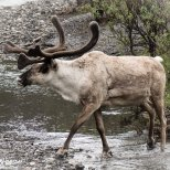 June 10th : Caribou in Denali NP