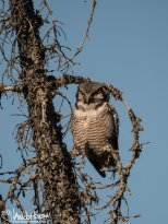 June 19th : Northern Hawk Owl