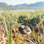 June 20th : Longspur chick on the tundra
