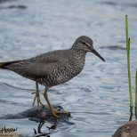 July 4th : Wandering Tattler