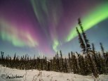 All shades of the aurora above a whipping spruce top