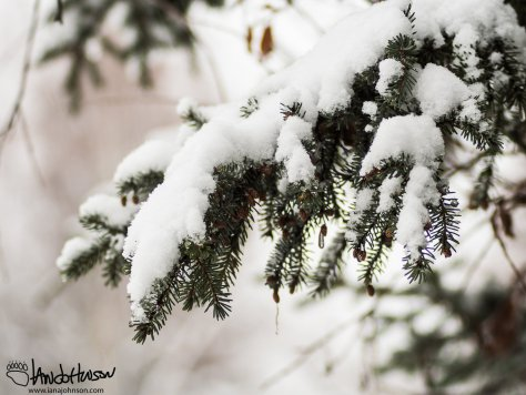 A spruce tree bears the burden of the winter