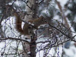 It is going to take more than a little snow to stop a feisty red-squirrel!
