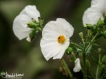 A speices of prickly poppy
