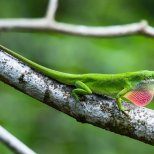 Green Anole lizard displaying for a mate
