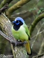 A stunning Green Jay