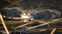 Water droplets fly from the swollen air sacs of this frog.