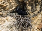 A cliff nesting raven sits over it brood.