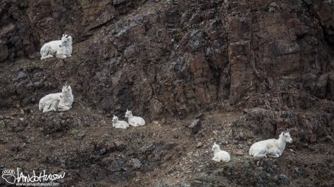 Dall Sheep Kids
