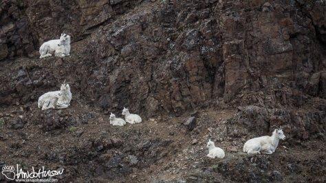 Dall Sheep Kids