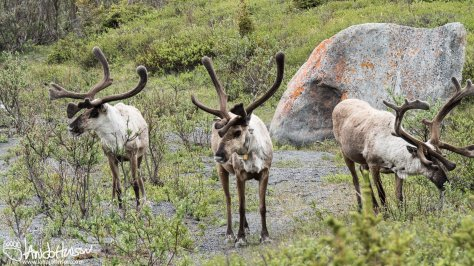 Caribou Science