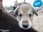 Alaskan Sled Dog Puppie
