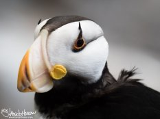 This image of a horned puffin taken the previous day at the Alaska Sealife Center demonstrates its namesake beautifully! The horned extension above the eye is striking!
