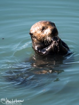 This sea otter was found cracking a clam in the Seward Harbor before we departed.