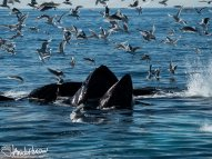A humpback whale finishes it ascent through the baitfish school by breaking the surface, mouth agape. The gulls all around were waiting for the scrambled fish.