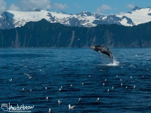 This humpback whale showed off a spurt of energy in a triumphant jump into the air. A full breach!