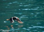Although a bit slow with the shutter speed, I like the image of this flying tufted puffin because it highlights their beautiful beak and face.